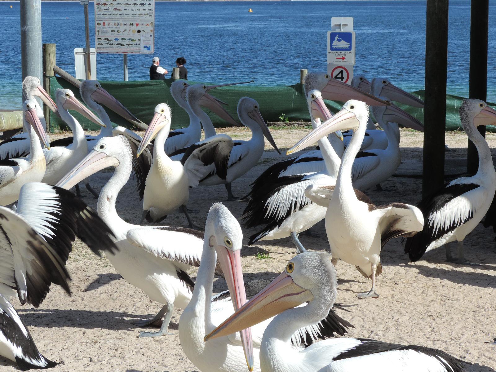 Nelson Bay Pelicans 2